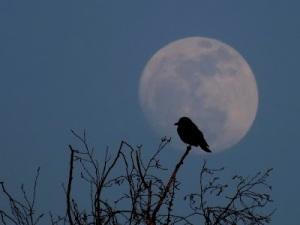 http://montreurdimages.blogspot.ca/2012/03/le-merle-dans-la-lune.html